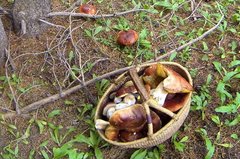 A basket full of porcini mushrooms found on a Terra Fleurs mushroom hunting tour